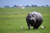 Nijlpaard in Chobe